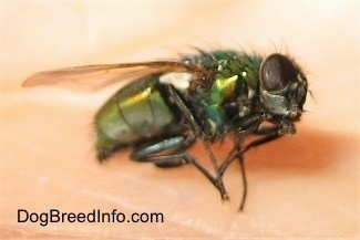 Close Up Right Profile - Green Bottle Fly