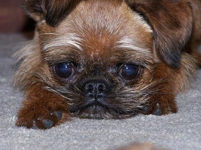 Close Up - A black with tan Belgian Griffon is laying down on a gray carpet with wide eyes and a frown on its face.
