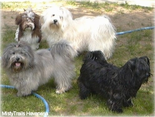 Four Havanese of varying colors are standing in grass. Three of them are standing over top of a blue water hose.