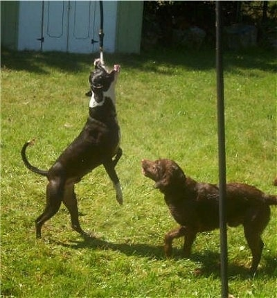 A water hose is spraying water directly into the mouth of a black with white Pit Bull from a hanging hose in the yard. There is a Labrador/Irish Setter mix looking at the Pit Bull
