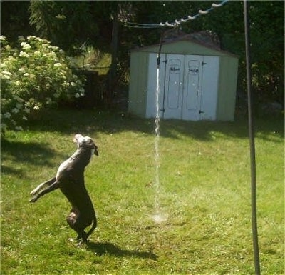 A black with white Pit Bull is landing a jump. It is trying to turn and grab a stream of water from a garden hose that is connected to a clothes line out in a yard. There is a tin green and white storage shed behind it.