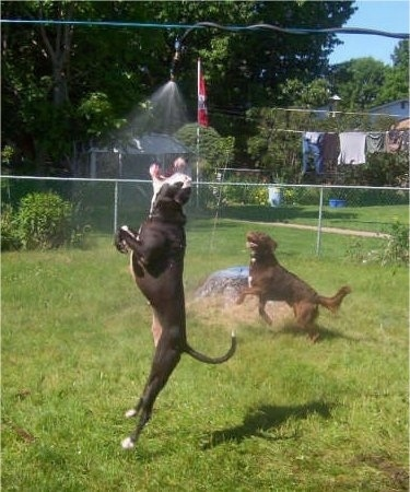 A black with white Pit Bull is jumping up to bite at a water stream from a hose hanging above it. A Labrador/Irish Setter mix is running around the hose