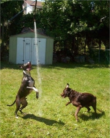 A black with white Pit Bull is jumping up to bite a stream of water. A Labrador/Irish Setter mix is chasing after the water pointed to the ground