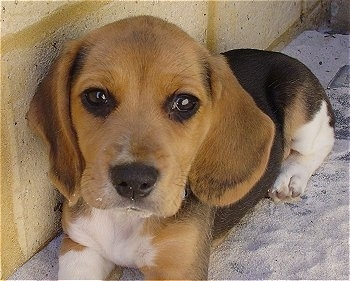 Daisy, the Beagle Harrier at 2 months old