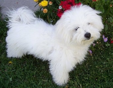 Muffin, the Bichon Havanese Hybrid (Havachon), at 7 months old