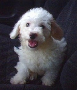 Chase, the Havachon (Havanese / Bichon Frise mix) puppy at 2 months old