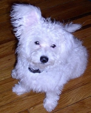 A white Highland Maltie is sitting on a hardwood floor looking up with one ear up and one ear down.