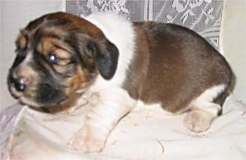 Close Up - A brown with white and black Hush Basset puppy is sitting on a white pillow