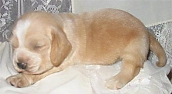 Close Up - A tan with white Hush Basset puppy is sleeping on a white pillow.