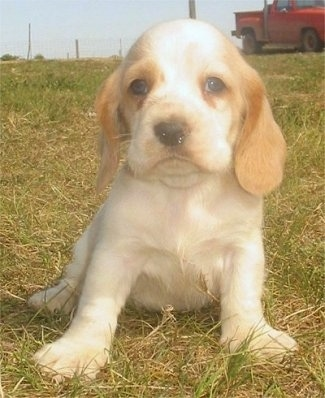 A small tan with white Hush Basset puppy is sitting in grass. There is a red truck behind it