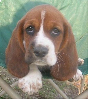 Close Up - A brown with white Hush Basset puppy is laying in a green lawn chair