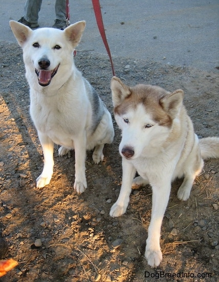 A white with grey Alaskan Husky and a blue-eyed white with brown Siberian Husky are sitting in dirt. The Alaskan Husky looks like it is smiling. The Siberian Husky has its head down