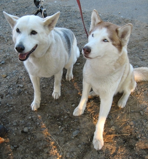 A white with grey Alaskan Husky is sitting in dirt with its mouth open next to a white with brown blue-eyed Siberian Husky