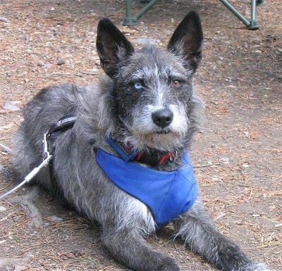 View from the front - A perk-eared, wiry, scruffy-looking, grey with white Siberian Husky/Terrier mix breed dog is laying outside in dirt looking forward. Its eyes are two different colors, one blue and one brown. It is wearing a blue thick harness