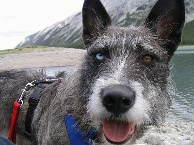 Close Up head and upper body shot - A perk-eared, wiry, scruffy-looking, grey with white Siberian Husky/Terrier mix is standing on a beach with a view of a mountain and a body of water behind it. Its mouth is open and tongue is out. It has one blue eye and one brown eye.