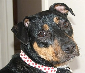 Bacon, the Jack Russell / Rottweiler hybrid at 2 years old