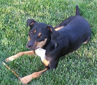 Jackweiler Dog Breed Information And Pictures - Terrier and rottweiler