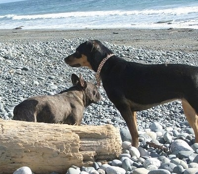 A black with tan and white Jack Russell Terrier/Rottweiler mix is standing on rocks at a beach with the ocean waves in the distance. There is a black French Bulldog next to it.