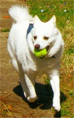 A white Imo-Inu is wearing a blue bandana. It has a green tennis ball in its mouth as it runs down a sidewalk