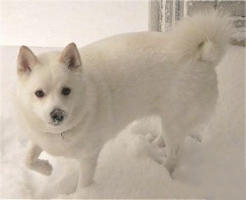 A white Imo-Inu is standing in snow with snow on its face