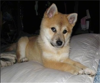 A tan with white Imo-Inu puppy is laying on a human's bed on a white pillow. Its head is tilted forward and to the right