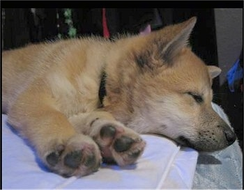 A tan with white Imo-Inu puppy is sleeping on a pillow on a human's bed