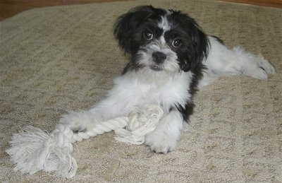 A black and white Ja-Chon puppy is laying on a tan rug and there is a white rope toy in front of it
