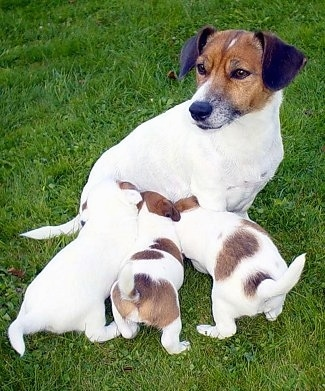 A white with brown Jack Russell Terrier is sitting in grass feeding a litter of puppies