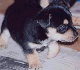 Close Up - A very small black with tan and white Jack Chi puppy is walking overtop of newspapers