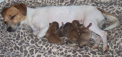 Hallie, the Jackhuahua (or Jack Chi) with her four 3 week old pups
