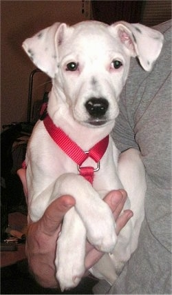 A white with black Jack-Rat Terrier is wearing a red harness and being held in the right arm of a person in a grey shirt