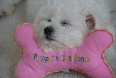 A white Jack-A-Poo puppy is sleeping on a pink plush bone. The bone reads - Puppy's 1st Bone.