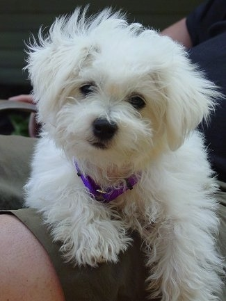A fluffy white Jack-A-Poo puppy is wearing a purple collar laying in the lap of a person sitting in a lawn chair