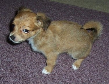 Jack, the Jack-Chi puppy at 2 months old and the runt of the litter. He has inherited the long haired gene.