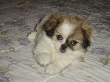 Passion the Japeke (Chin / Pekingese mix) as a little puppy