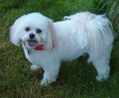 A fluffy white with tan Japillon wearing a red bandana is standing in grass, its mouth is open and tongue is out