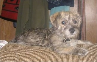 Max, the Cairn Terrier / Bichon Frise cross (Kashon) puppy at 6 months old