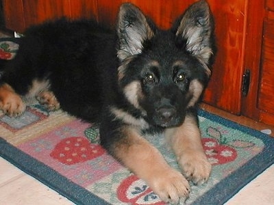 A black with tan King Shepherd puppy is laying on a throw rug in front of a cherry cabinet