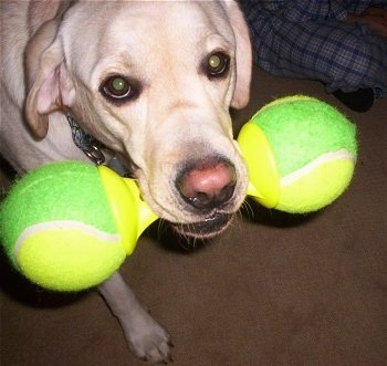 Close up upper body shot of a dog walking - A yellow Labrador Retriever has a green and yellow tennis ball bone in its mouth.