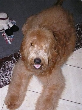 A wavy-coated, long-haired tan with white Labradoodle is laying on a white tiled floor. Its mouth is open