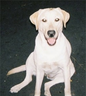 A happy looking yellow Labrador Retriever is sitting down at night. Its mouth is open showing its tongue and it is looking up.