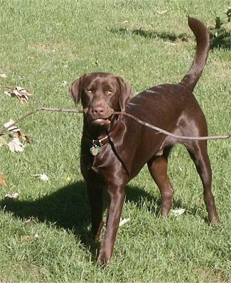 American Chocolate Lab