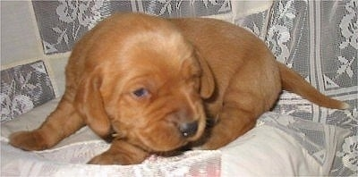 Very young Labbe puppy Labrador Retriever / Beagle hybrid (Labbe)
