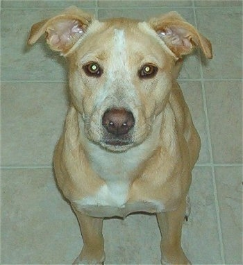 View from the front - A large-breed, shorthaired, tan with white Labbe is sitting on a tan tiled floor and looking up.
