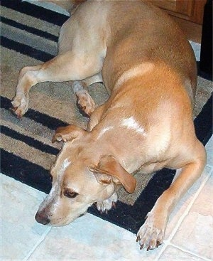 A shorthaired, tan with white Labbe is laying down on a tan and black throw rug on top of a tan tiled floor.