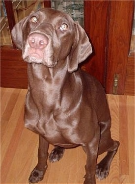 A shiny-coated graying chocolate Labmaraner is sitting in front of a pair of cherry doors on a brown hardwood floor looking up.