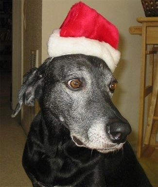 Side view head shot - A graying black Labmaraner is sitting on a carpet wearing a red and white Santa hat