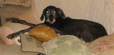A graying black Labmaraner is laying on a couch covered in pillows