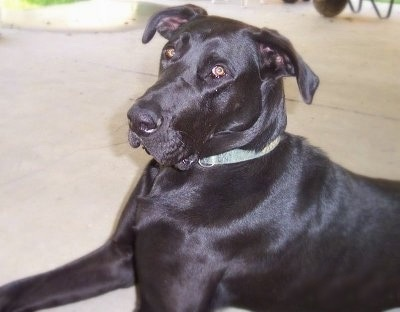 Adopt Puppies on Bubba  The Labrador Retriever   Great Dane Hybrid  Labradane  At 2