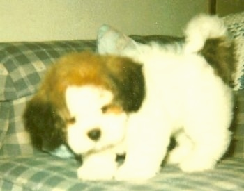 A white with brown Lacasapoo puppy is standing on a couch looking down. It looks like a stuffed toy.